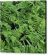 D3b6327-ferns In Sonoma Acrylic Print