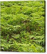 Ferns In Summer Acrylic Print