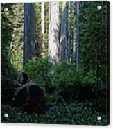 Ferns Of The Redwood Forest Acrylic Print
