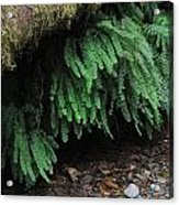 Ferns Over Home Creek Fern Canyon Acrylic Print