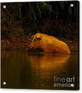 Ferrell Hog At Sunrise Acrylic Print