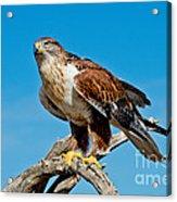 Ferruginous Hawk About To Take Acrylic Print