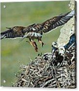 Ferruginous Hawk Bringing Food To Young Acrylic Print