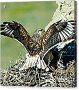 Ferruginous Hawk Male At Nest Acrylic Print