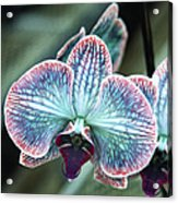 Festive Orchid Acrylic Print