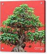 Ficus Bonsai Acrylic Print