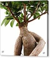 Ficus Ginseng Acrylic Print