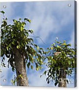 Ficus Leaves Against The Sky Acrylic Print