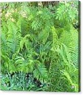 Fiddlehead Ferns Acrylic Print