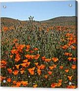 Fiddlenecks And Poppies Acrylic Print
