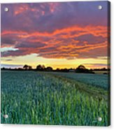 Field At Sunset Acrylic Print