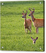 Field Deer Acrylic Print
