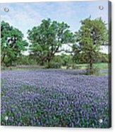 Field Of Bluebonnet Flowers, Texas, Usa Acrylic Print