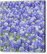 Field Of Bluebonnets Acrylic Print