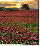 Field Of Crimson Clover With Lone Oak Acrylic Print