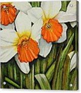 Field Of Daffodils Acrylic Print