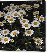 Field Of Daisies Acrylic Print