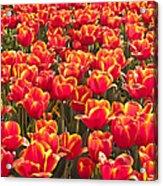 Field Of Fire II Acrylic Print
