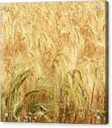 Field Of Gold - 3 Acrylic Print