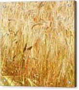 Field Of Gold 1 Acrylic Print