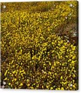 Field Of Goldfields In Park Sierra-ca Acrylic Print