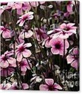 Field Of Lavender Acrylic Print