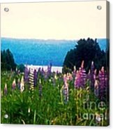 Field Of Lupines Acrylic Print