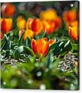 Field Of Orange Tulips Acrylic Print