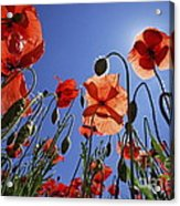Field Of Poppies At Spring Acrylic Print