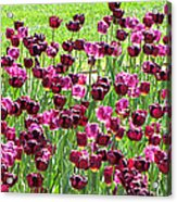Field Of Purple Tulips 1 Acrylic Print