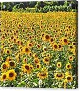 Field Of Smiles Acrylic Print