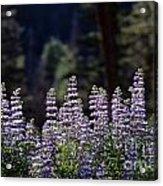 Field Of Summer Wildflowers Backlit Lupine  Acrylic Print