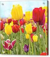 Field Of Tulip Flowers Against Blue Sky Acrylic Print