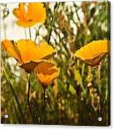 Field Of Yellow Poppies Acrylic Print