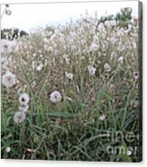 Field Of Youthful Dreams Acrylic Print by Joseph Baril
