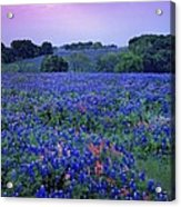 Fields Of Blue Acrylic Print