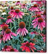 Fields Of Coneflower Acrylic Print