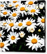 Fields Of Daisies Acrylic Print