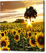 Fields Of Gold Acrylic Print