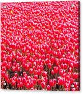 Fields Of Tulips Alkmaar Vicinity Acrylic Print