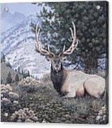Fields Peak Elk Acrylic Print