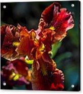 Fiery Iris Acrylic Print