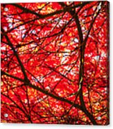 Fiery Maple Veins Acrylic Print