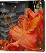 Fiery Orange Azalea  Acrylic Print