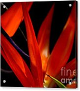 Fiery Red Bird Of Paradise Acrylic Print