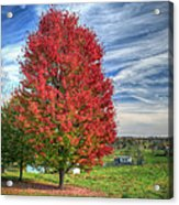 Fiery Red Maple Acrylic Print