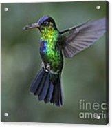 Fiery-throated Hummingbird..  Acrylic Print