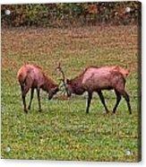 Fighting Bull Elks Acrylic Print
