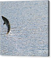 Fighting Chinook Salmon Acrylic Print
