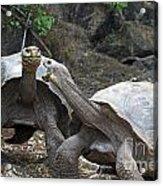Fighting Galapagos Giant Tortoises Acrylic Print